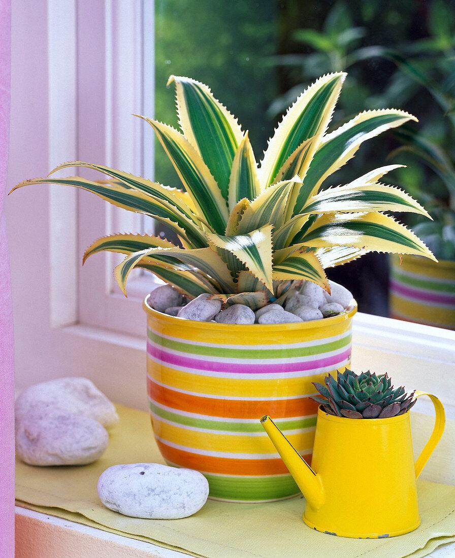 Pineapple comosus and Echerveria