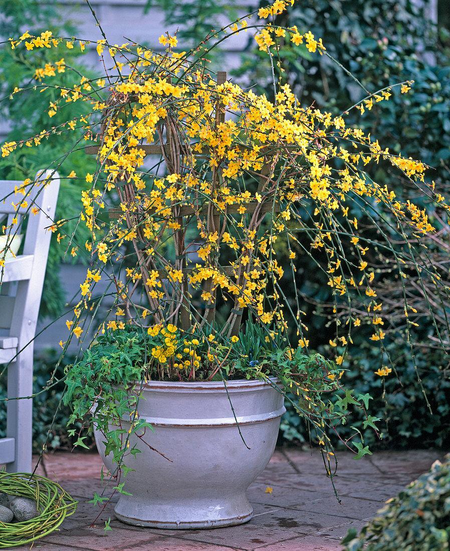 Jasminum nudiflorum (Winterjasmin), Eranthis (Winterlinge)