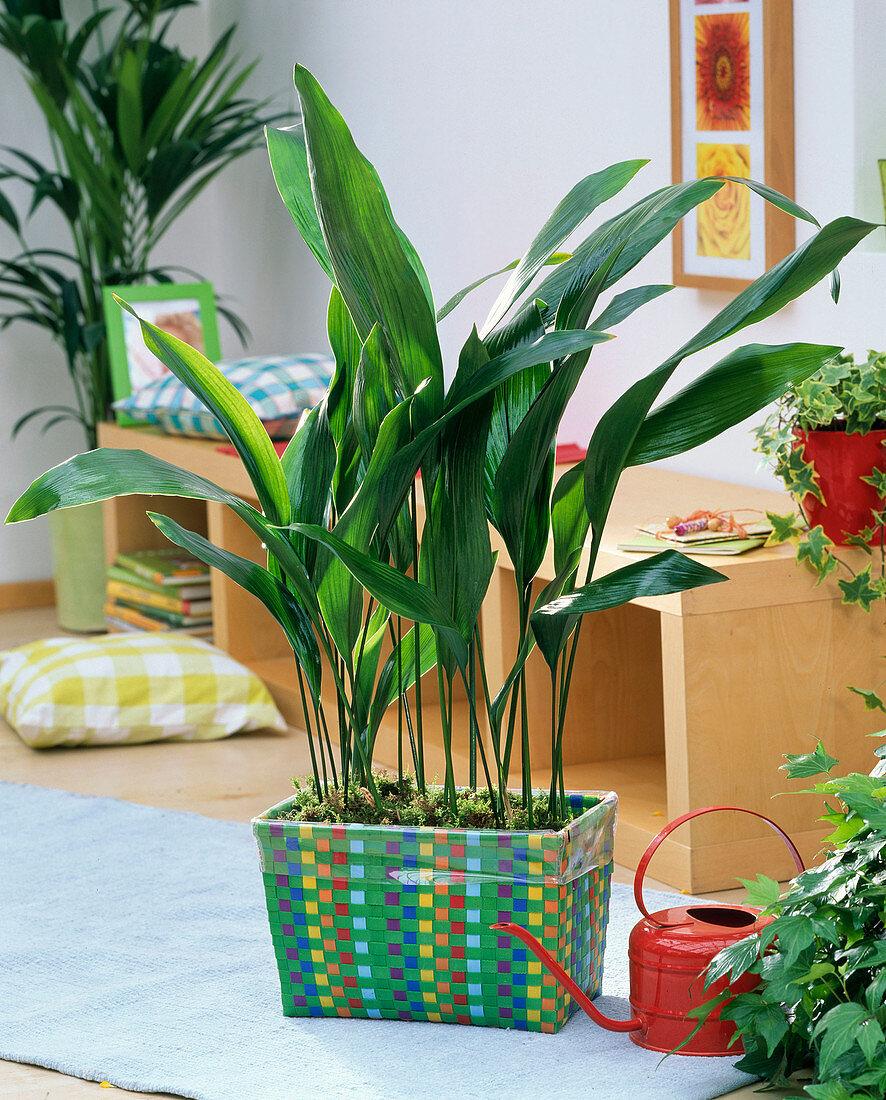 Aspidistra elatior in colorful wicker basket in the living room