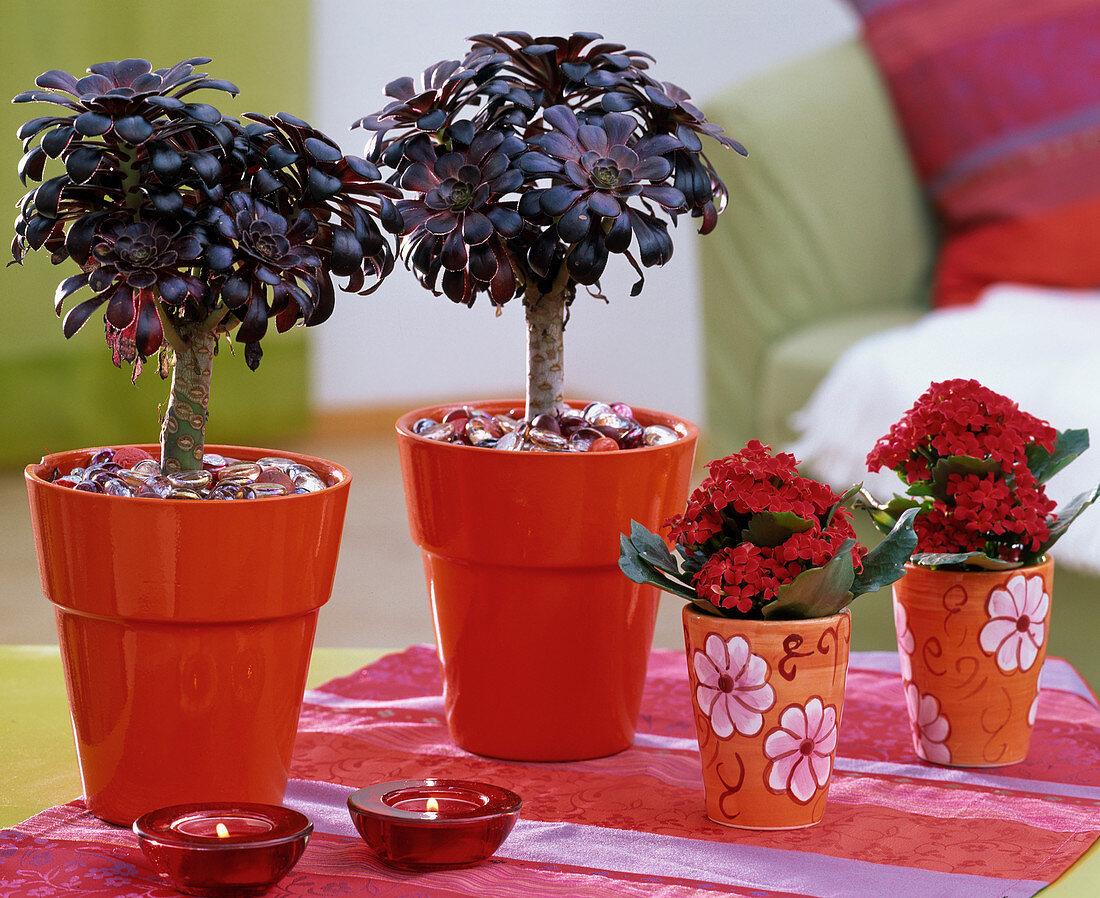 Aeonium arboreum, in bright red pots