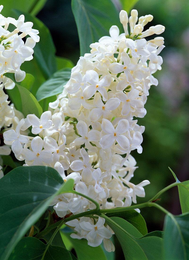 Blossom of Syringa vulgaris 'Mont Blanc' (lilac)