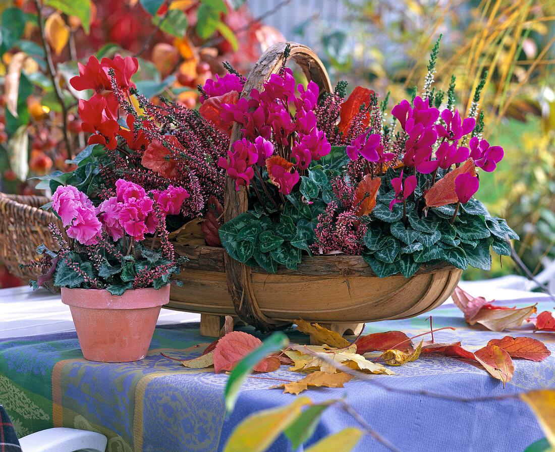 Cyclamen persicum (cyclamen) in flat basket and pot