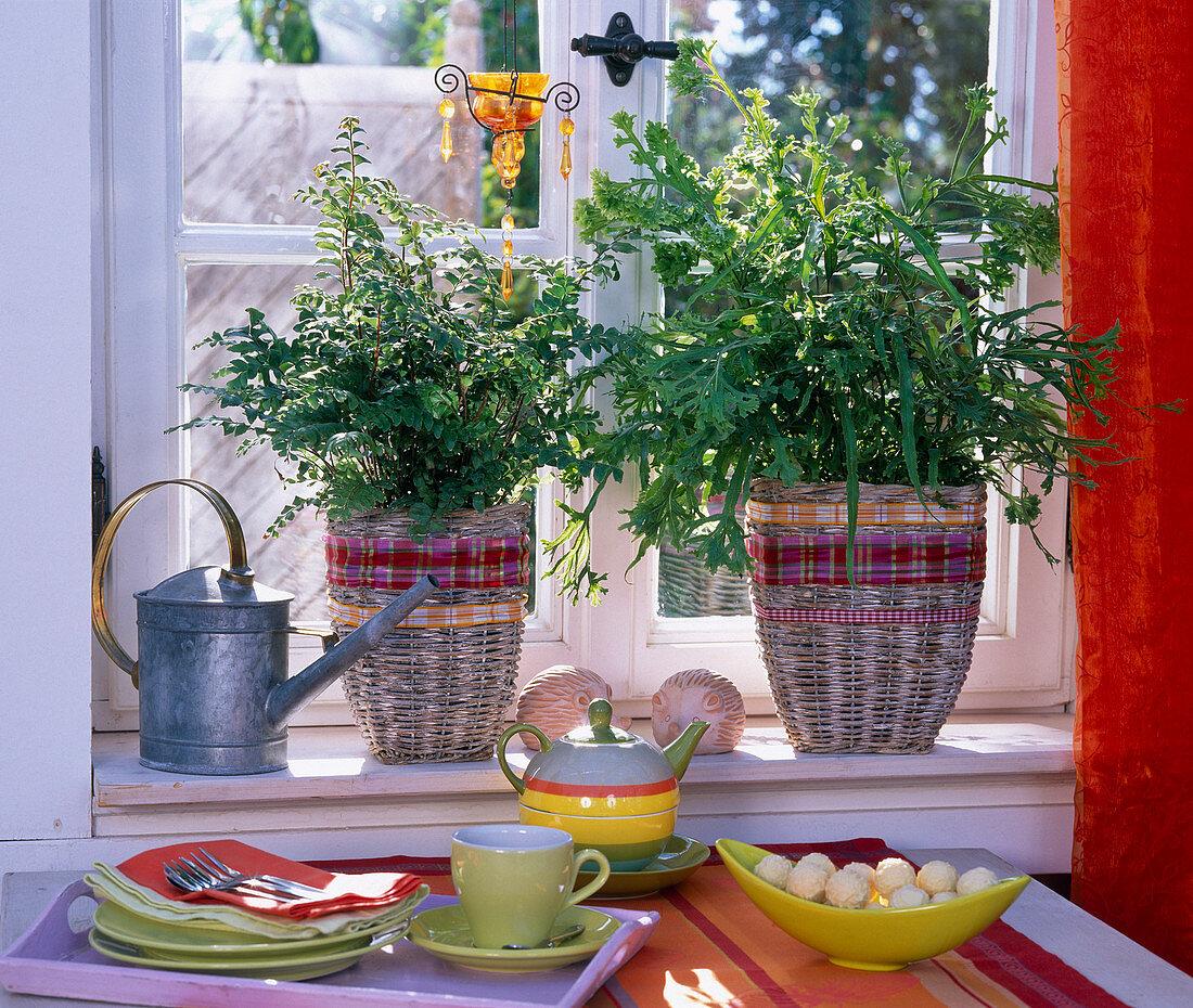 Pellaea, pteris in baskets on the windowsill, table