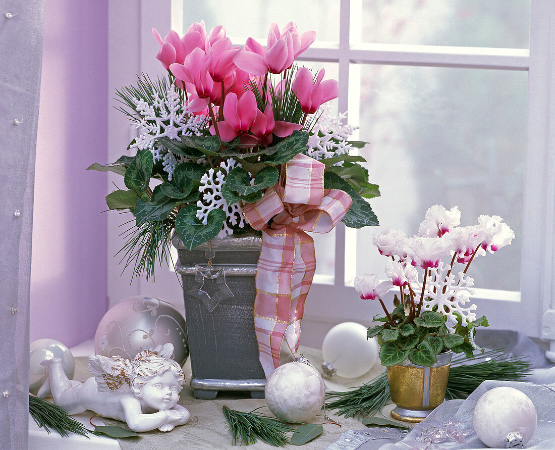 Cyclamen persicum decorated with a ribbon and white stars