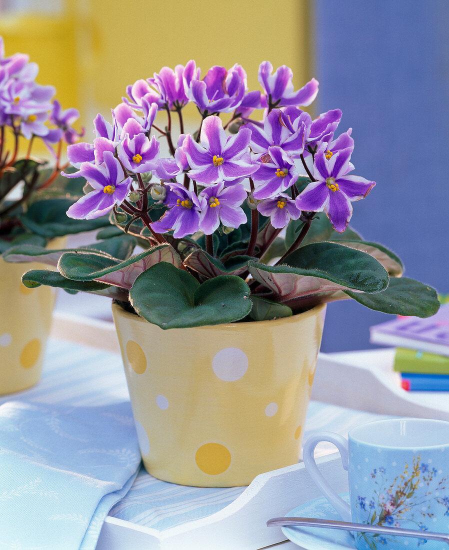 Saintpaulia ionantha (African Violet), purple-white striped