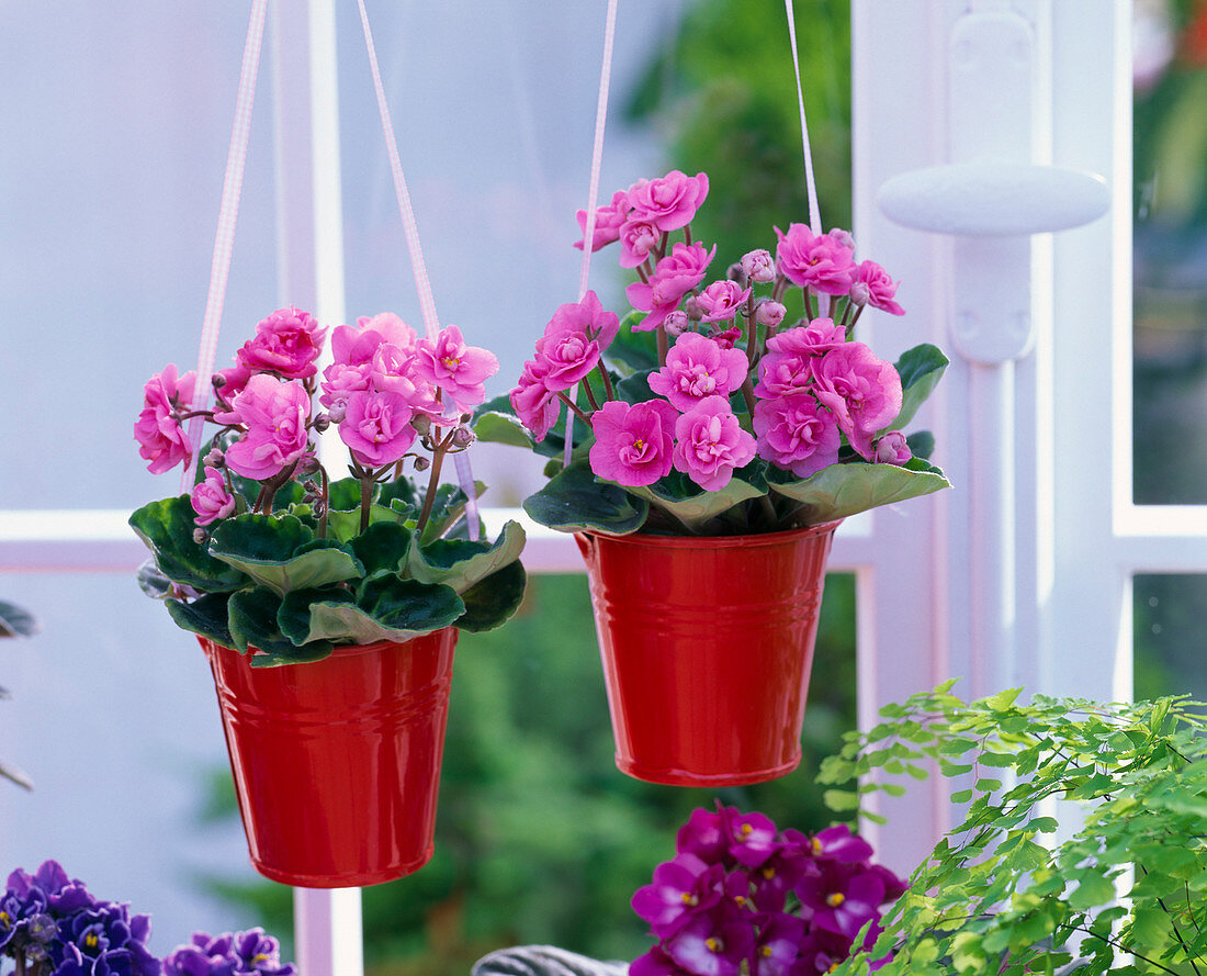 Saintpaulia, blooming rose, in small red buckets