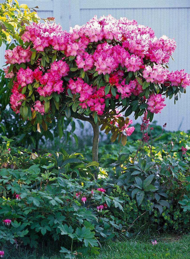 Rhododendron yakushimanum (alpine rose)