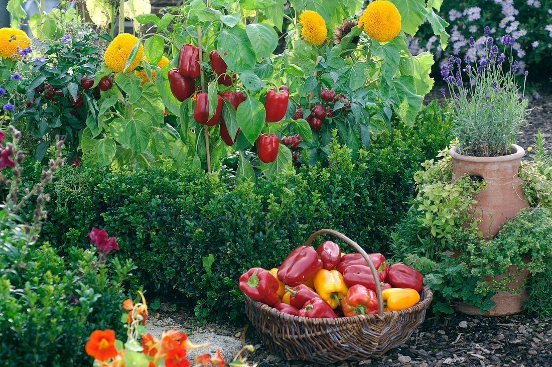 Capsicum (paprika) behind Buxus (Box) and in the wicker basket