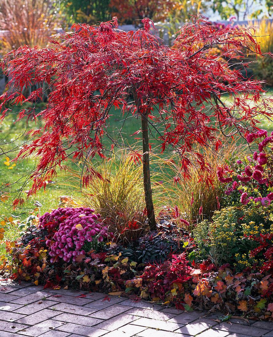 Acer palmatum 'Dissectum Garnet' in autumn color