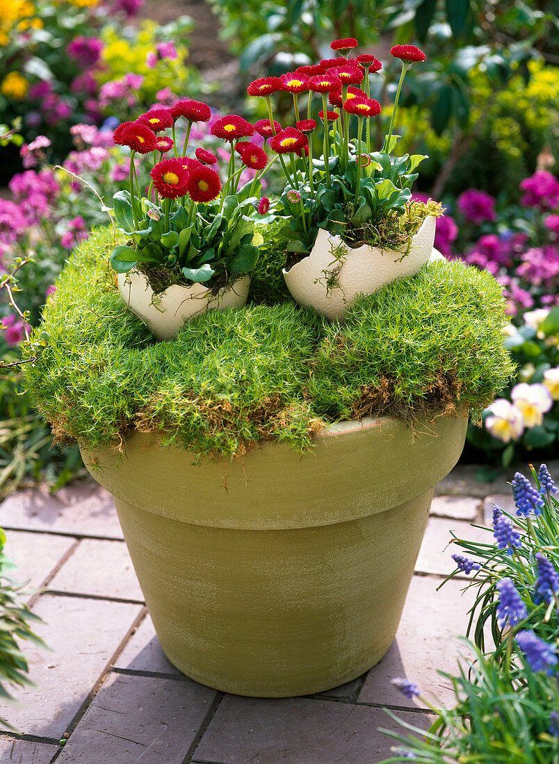 Sagina (star moss) as Easter basket with Bellis (daisy)