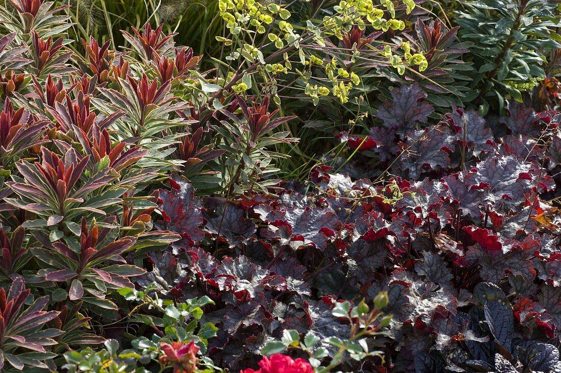 Heuchera 'Amethyst Myst' (purple bell), Euphorbia 'Helena'