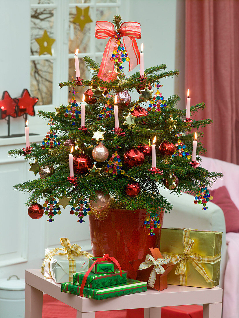 Abies nordmanniana (Nordmann fir) as a living Christmas tree