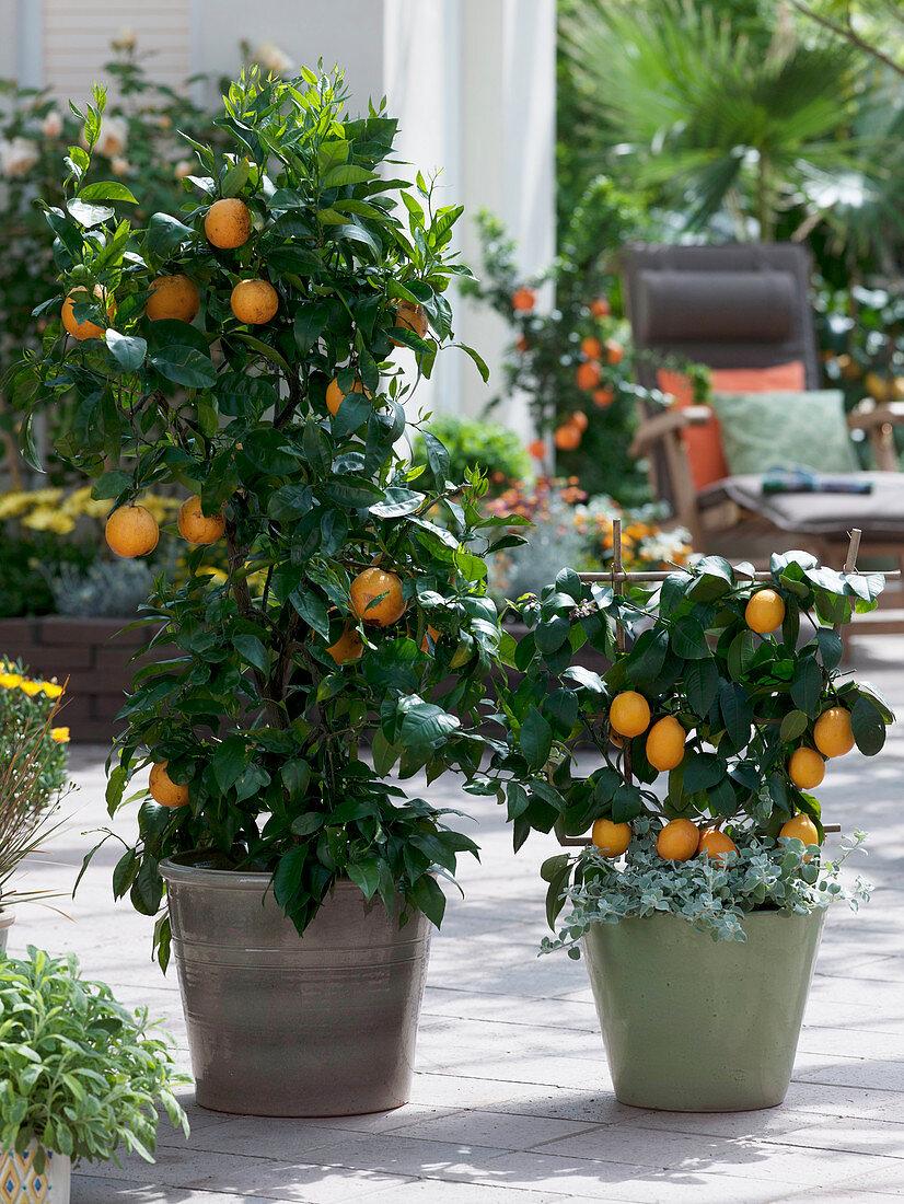 Citrus sinensis, Citrus limon 'Meyer'