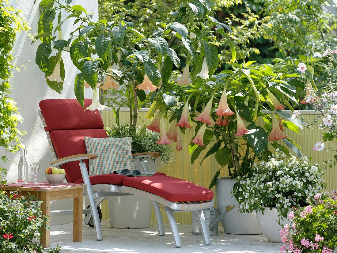 Datura 'Pink Favorite' and arborea, Solanum rantonnetii