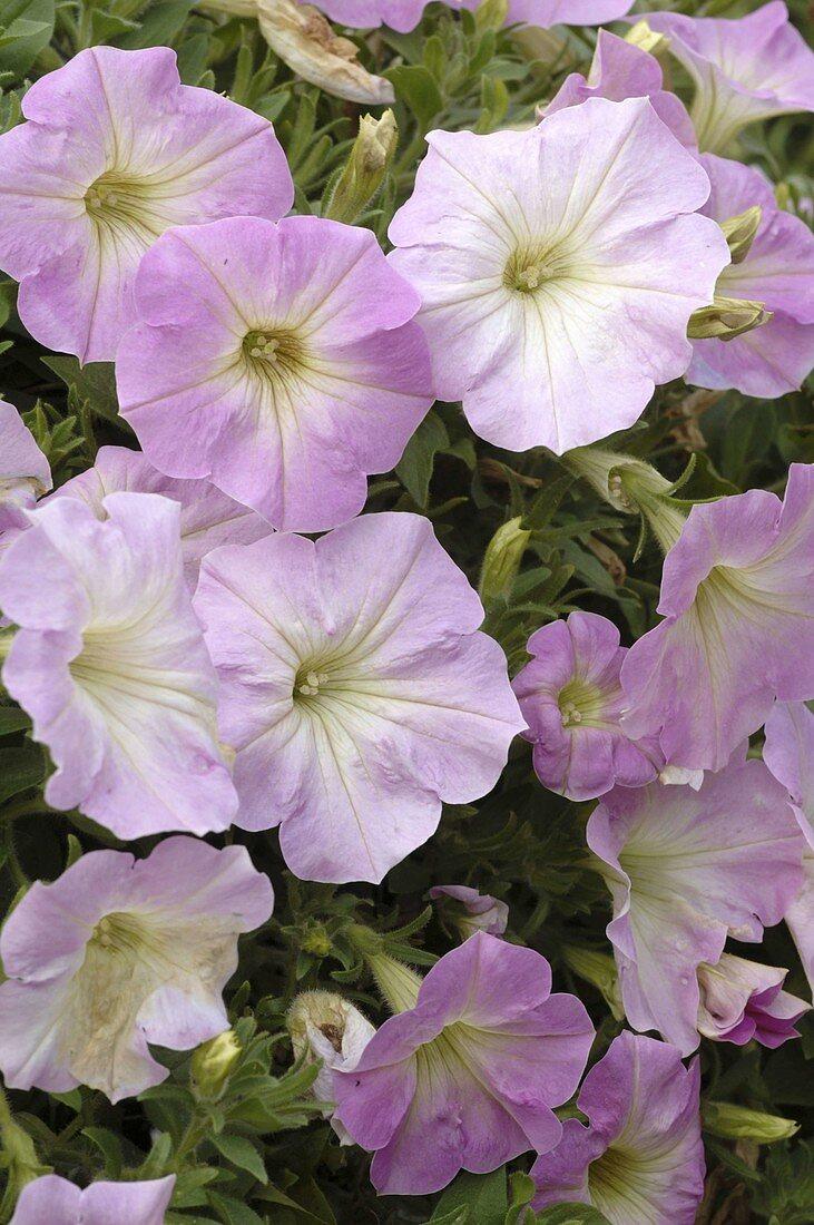 Petunia Porch 'Pink Flush' (Petunia)