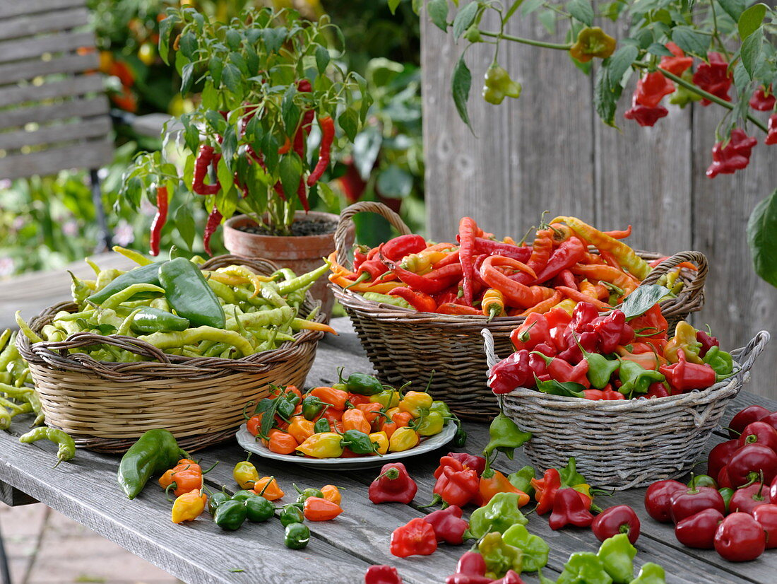 Various harvested peppers and hot peppers in baskets on table