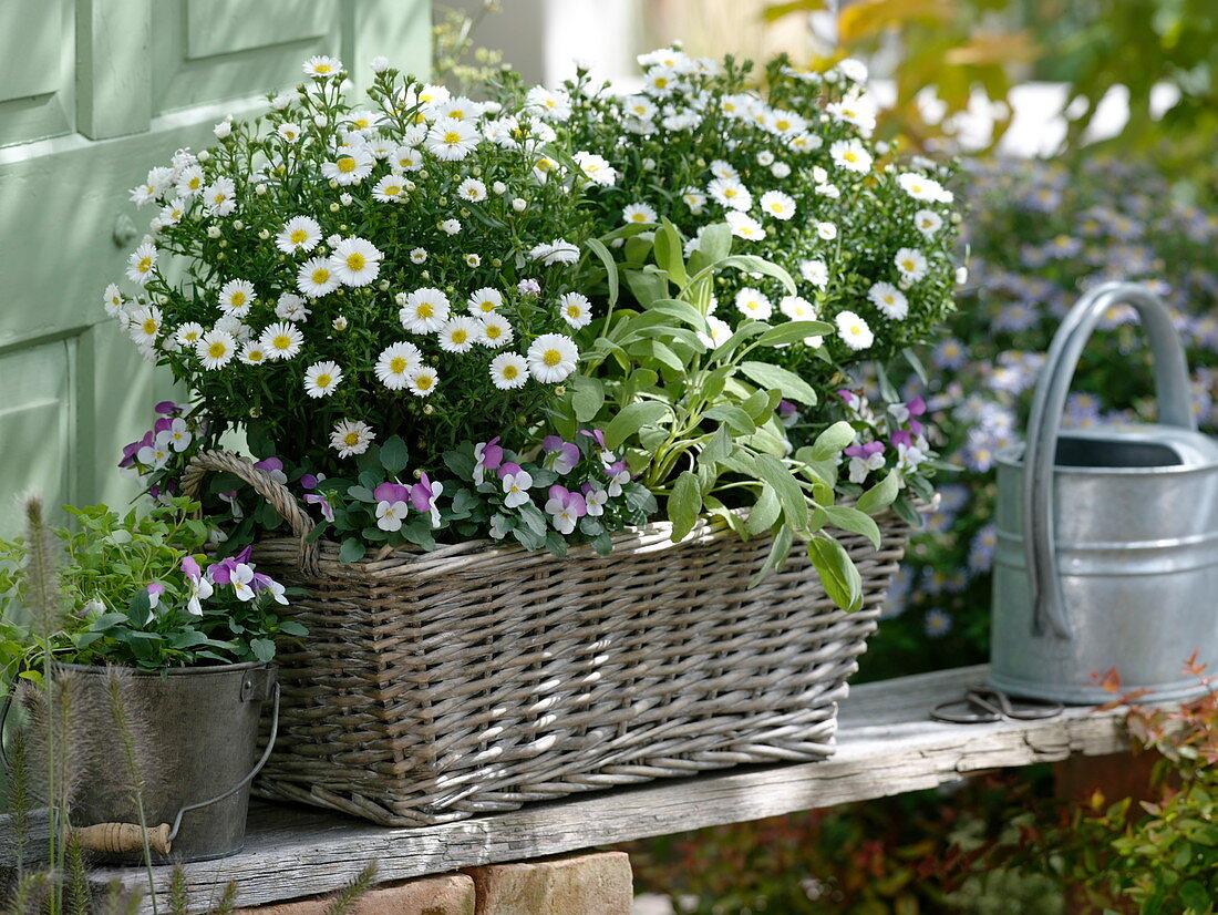 Aster dumosus, Viola cornuta Callisto 'White With Rose Wing'