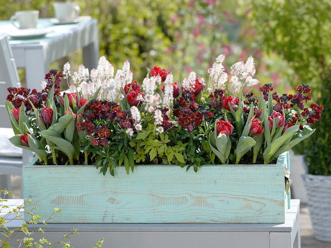 Turquoise box with Tulipa 'Red Princess', Tiarella