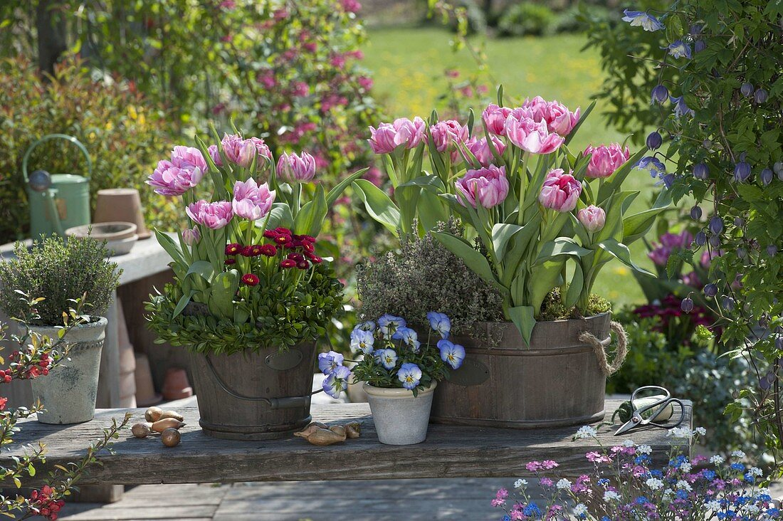 Wooden vessels with tulipa 'Peach Blossom' (tulip), lemon thyme