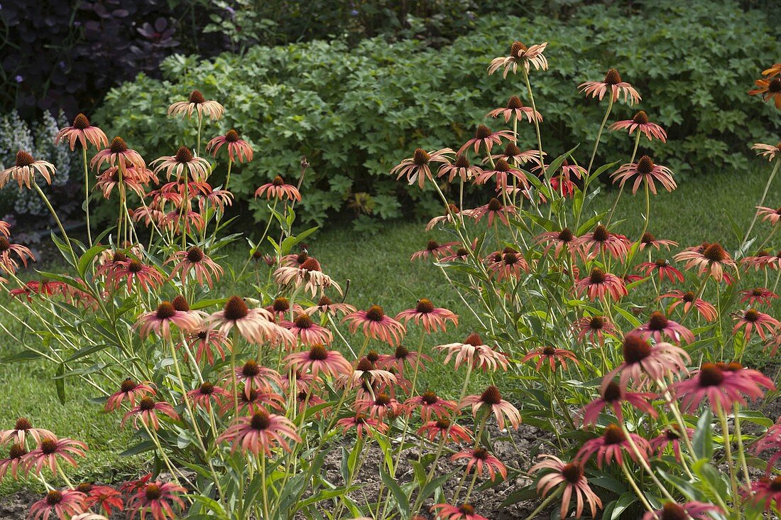 Echinacea purpurea 'Tomato Soup' (Red Coneflower)