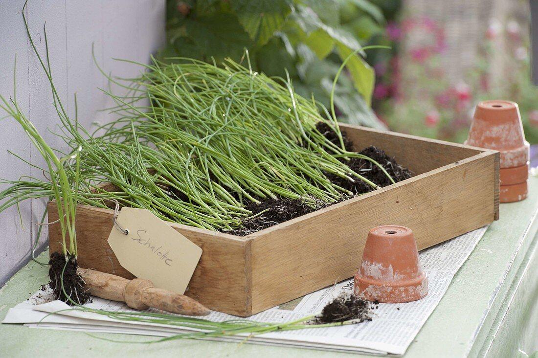 Young shallots (Allium ascalonicum) plants for transplanting
