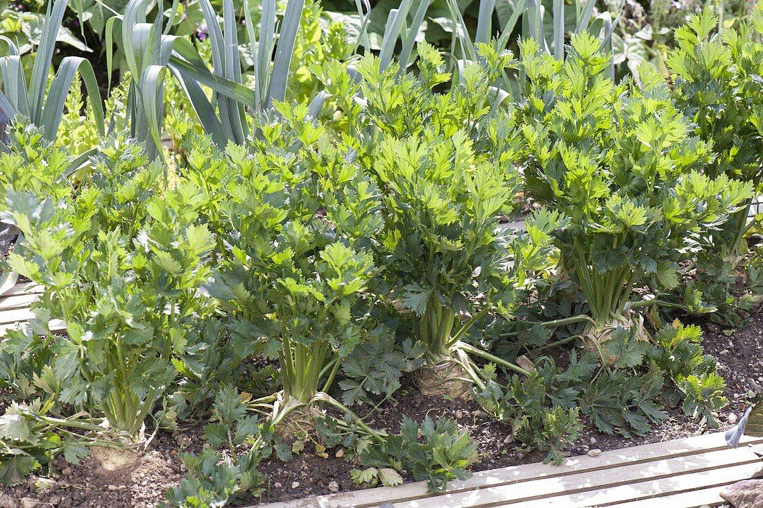 Celeriac (Apium graveolens) in the bed