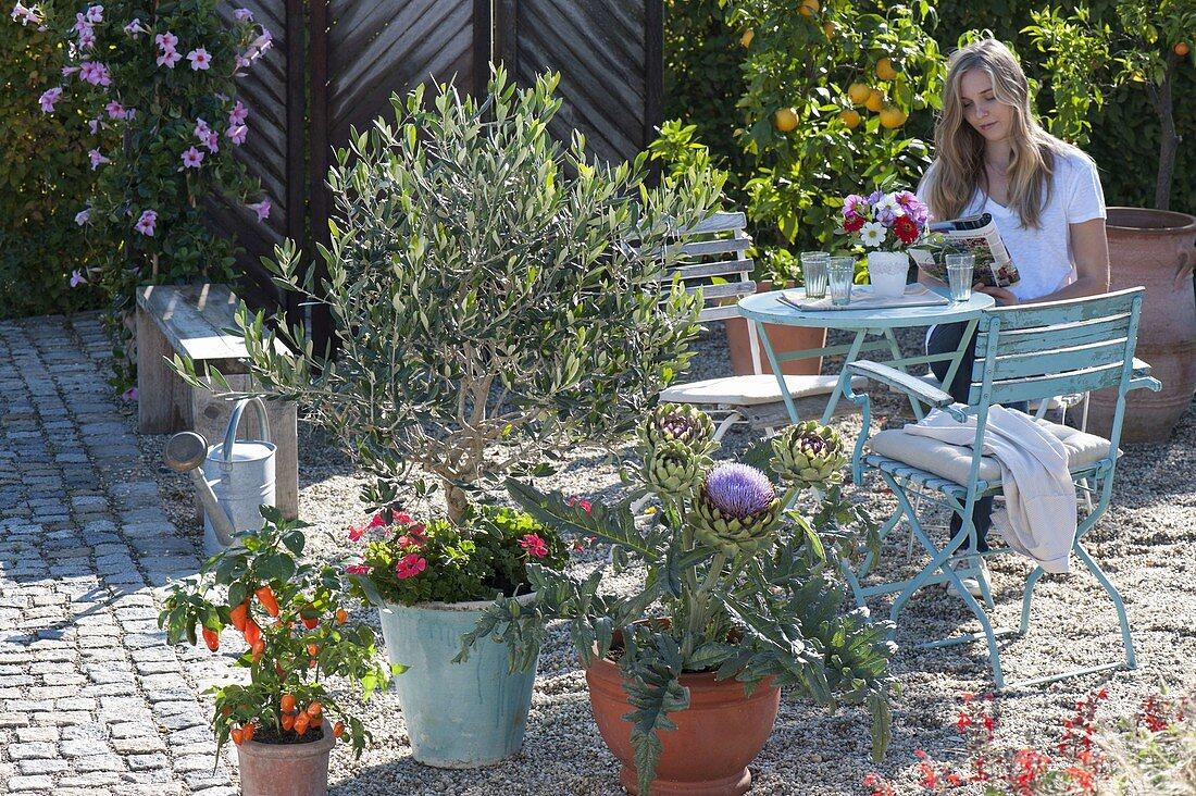 Mediterranean gravel terrace planted with Olea europaea (olive)