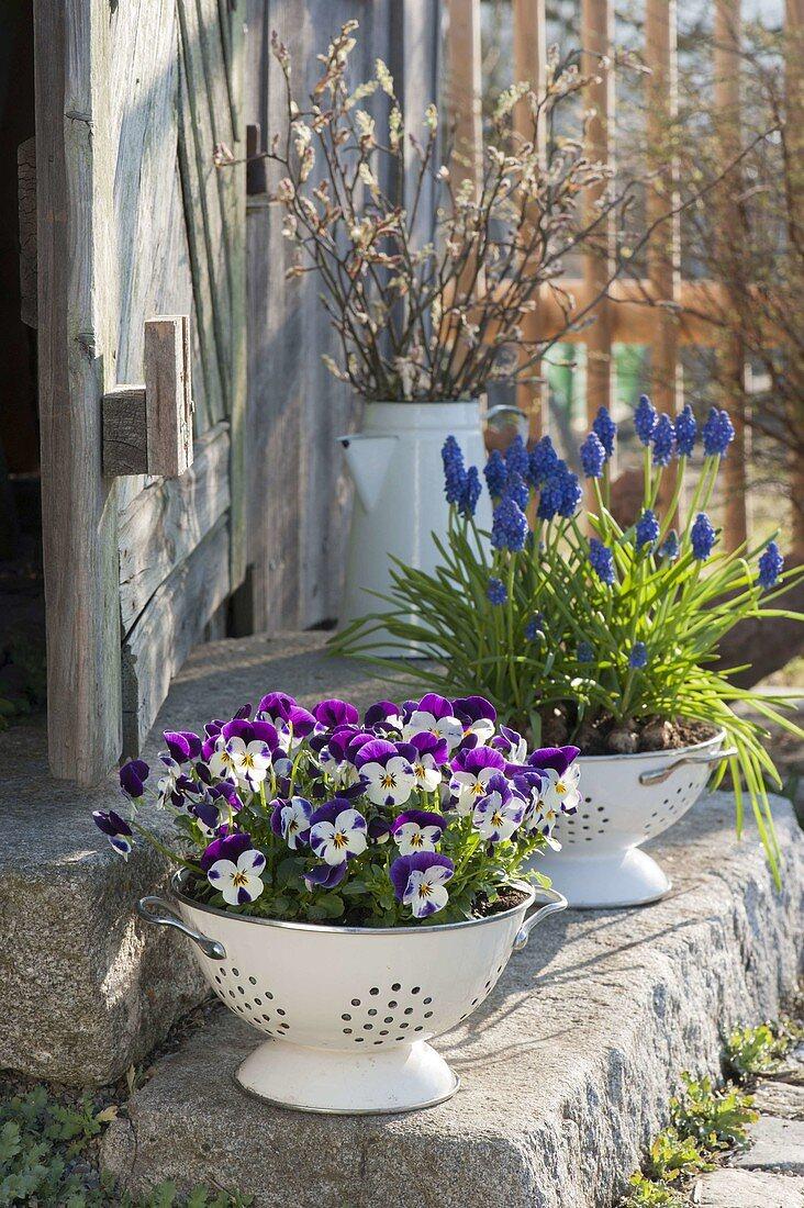 Muscari armeniacum 'Blue Pearl', Viola cornuta Callisto