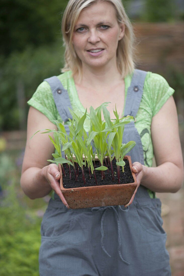 Woman with self-seeded young plants of corn in terracotta bowl