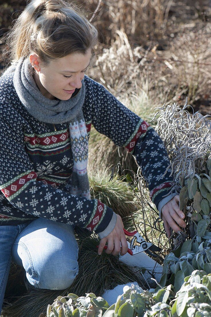 Woman cutting back sage (Salvia officinalis) near the root