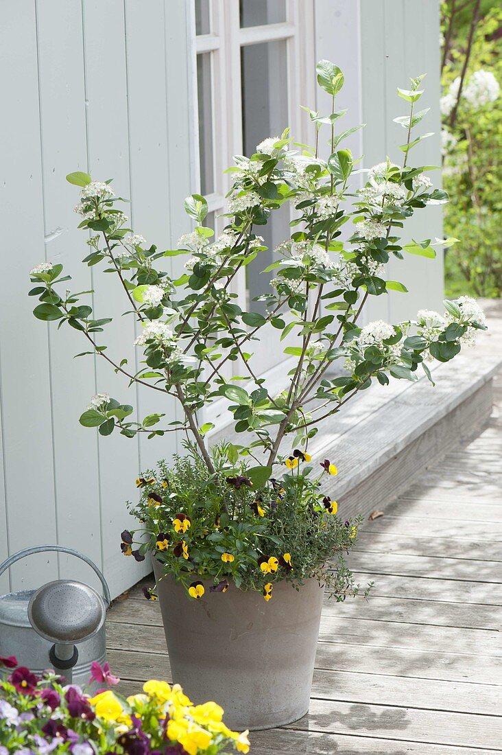 Through the seasons with Aronia x prunifolia 'Viking',