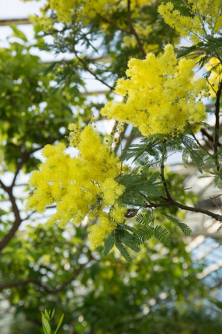 Acacia dealbata (Silber-Akazie) blüht im Vorfrühling im Wintergarten