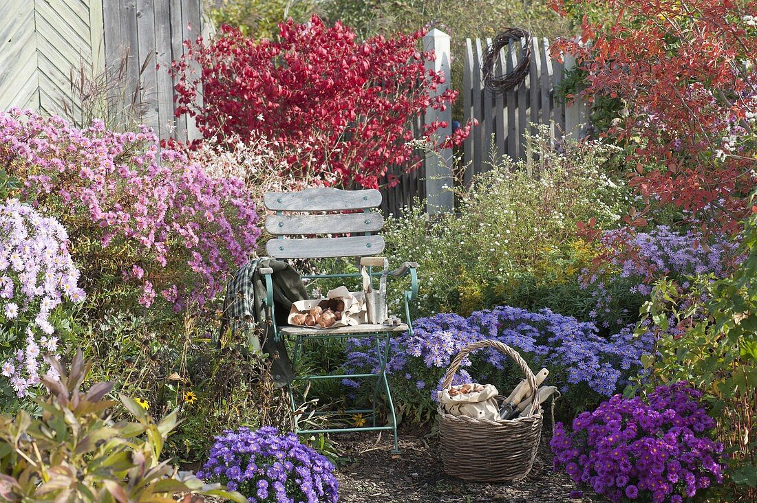 Chair in the autumn garden between Aster (white wood aster) and Euonymus
