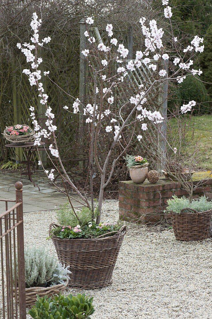 Prunus dulcis (almond tree, almonds) planted with Bellis