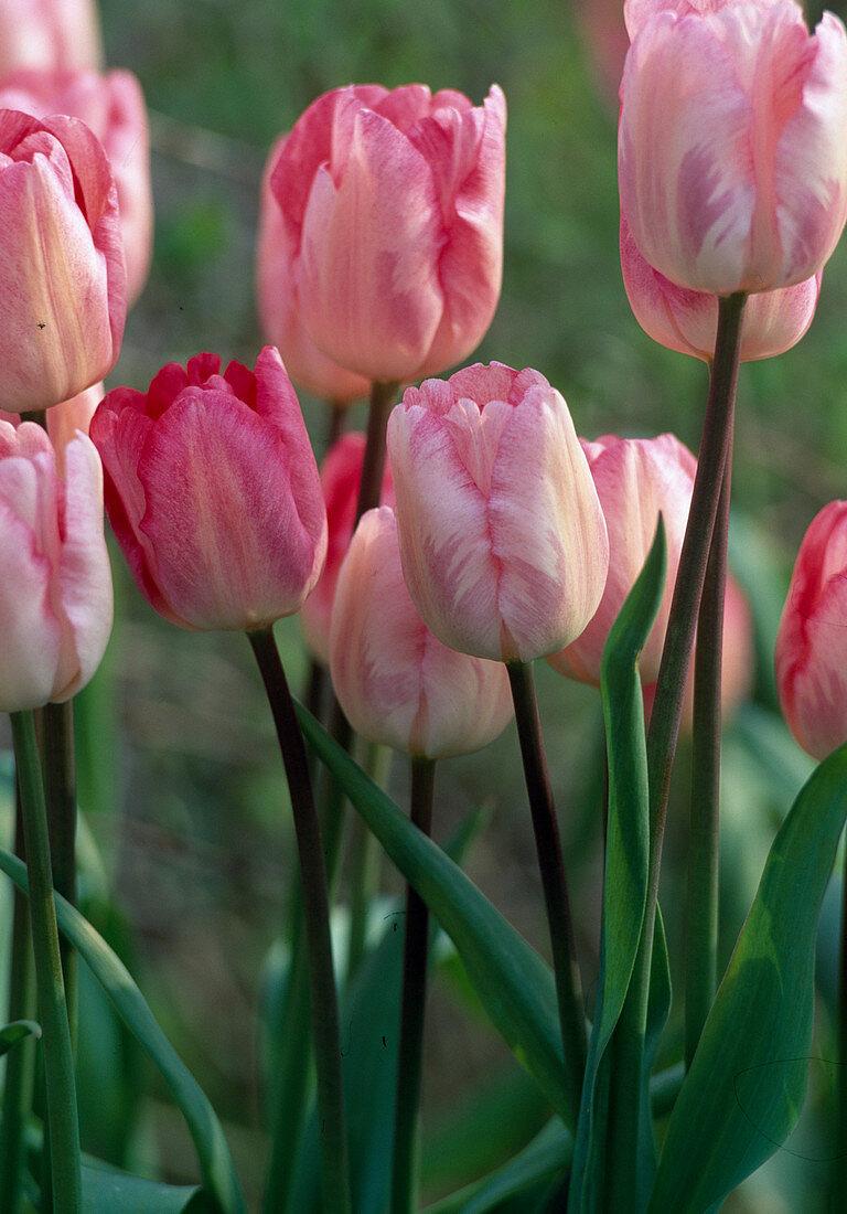 Tulipa 'Gander's Rhapsody'