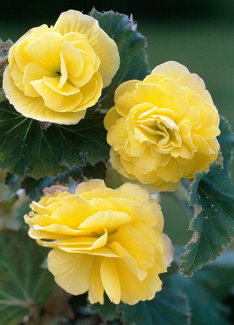 Begonia tuberhybrida 'Yellow Clips'