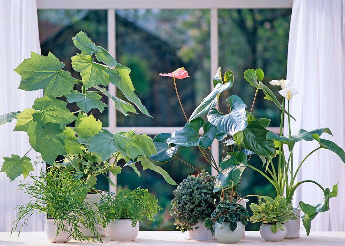 Zantedeschia, Peperomia, Anthurium, Callisia, Adiantum