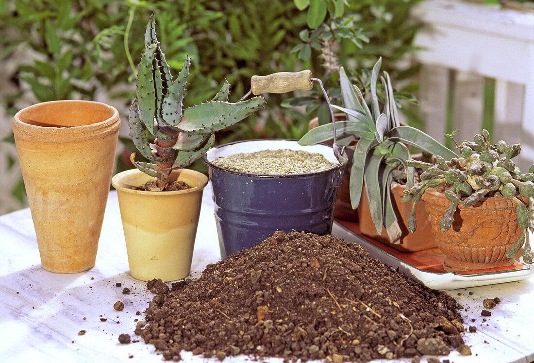 Repot Succulents Buy Image 12220438 Living4media