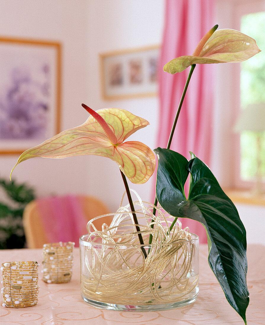 Anthurium andreanum (Great Flamingo Flower)