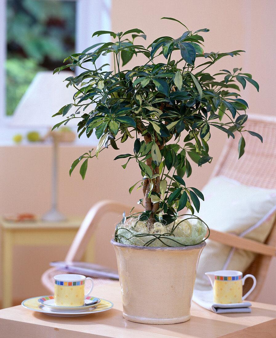 Schefflera arboricola 'Sofia' (Radiation Aralie)