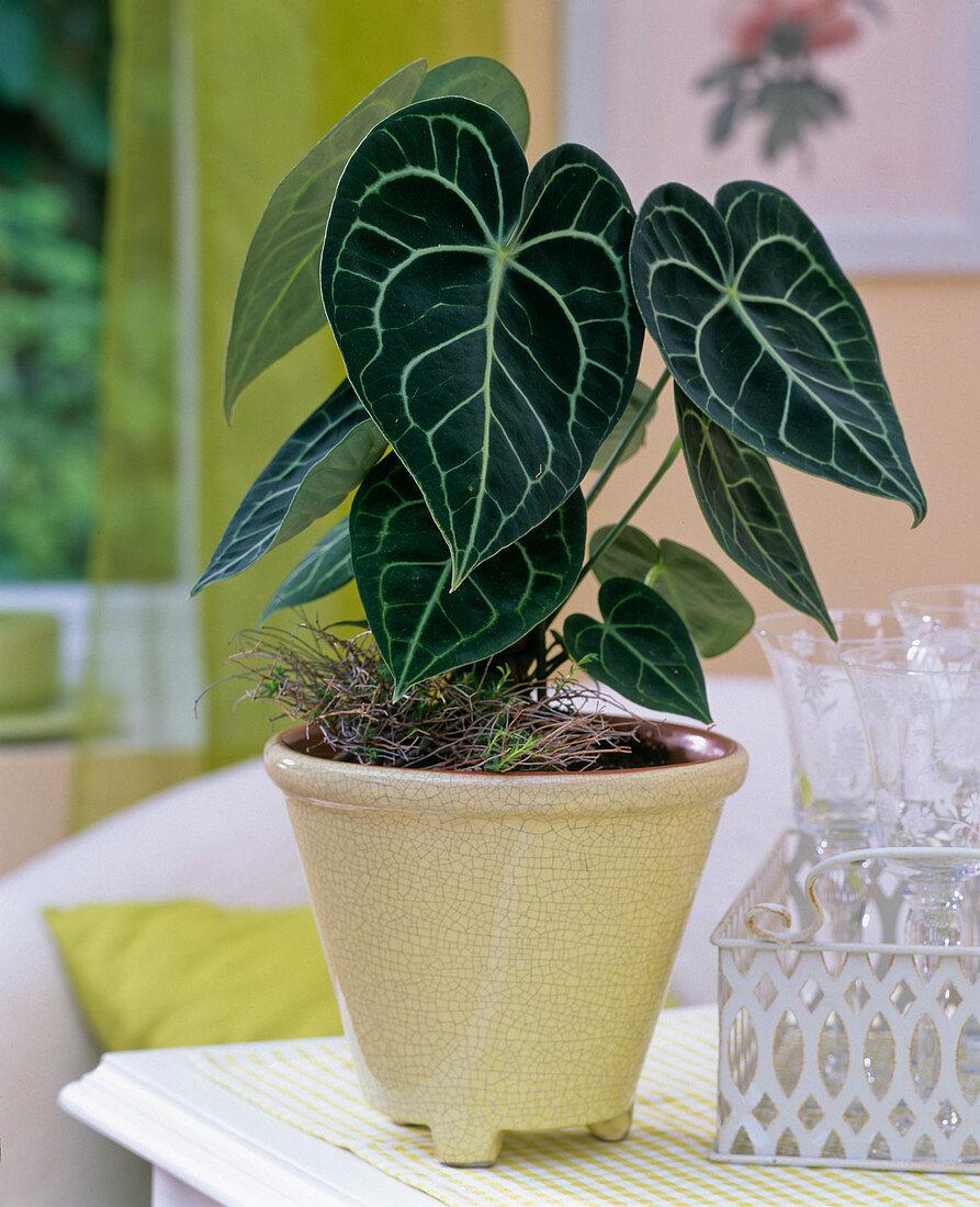Anthurium clarinervium, with decorative leaves