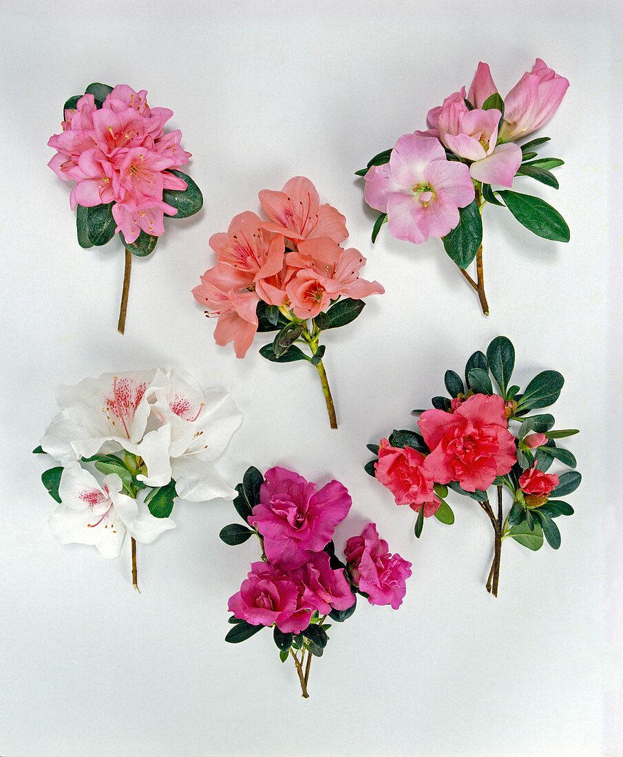Azalea 'Pink Pearl', A.'Rex ', A. Rosalie