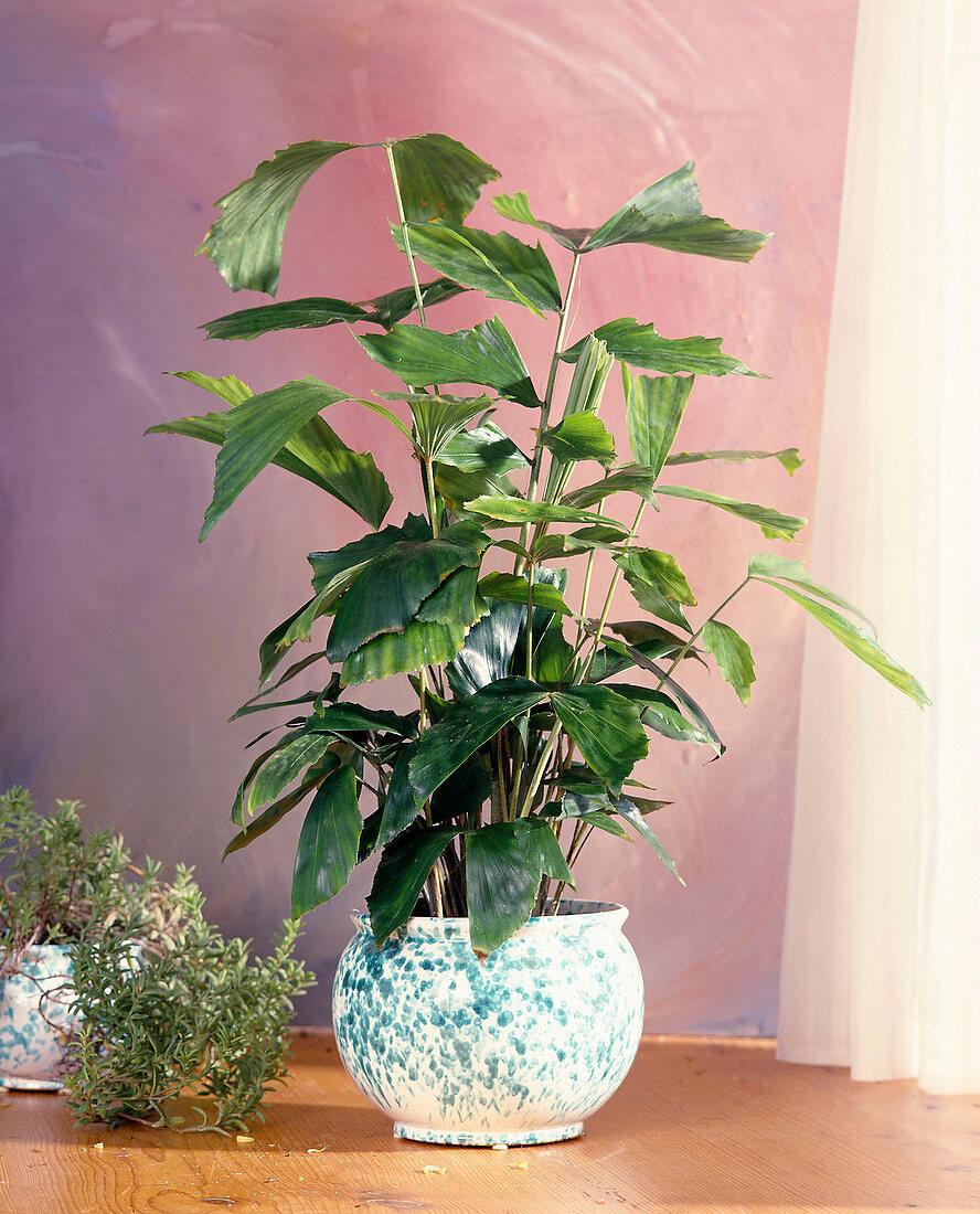 Caryota mitis (fishtail palm)