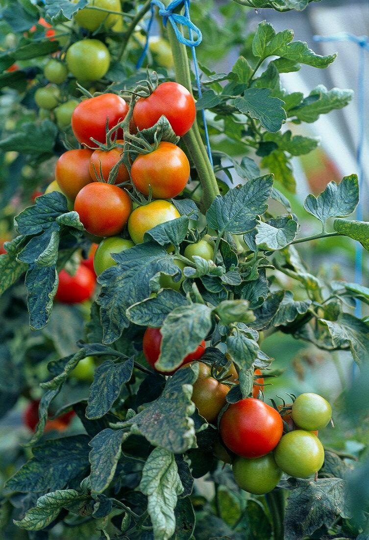 Tomato 'Kyndia'