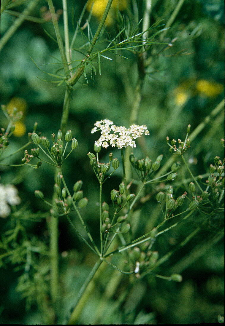 Real caraway (Carum carvi), flowers and seedbed