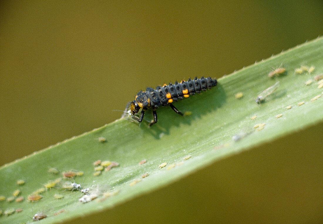 Ladybird larva eats aphids