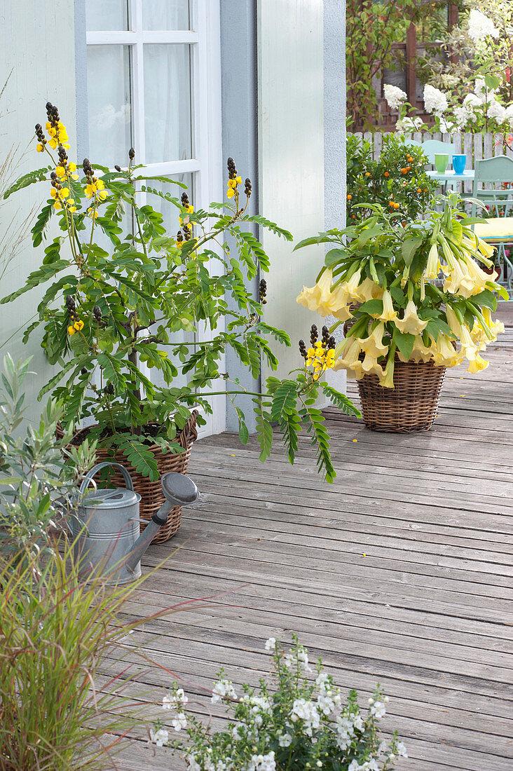 Cassia didymobotrya (spice bark, candle shrub) and Brugmansia