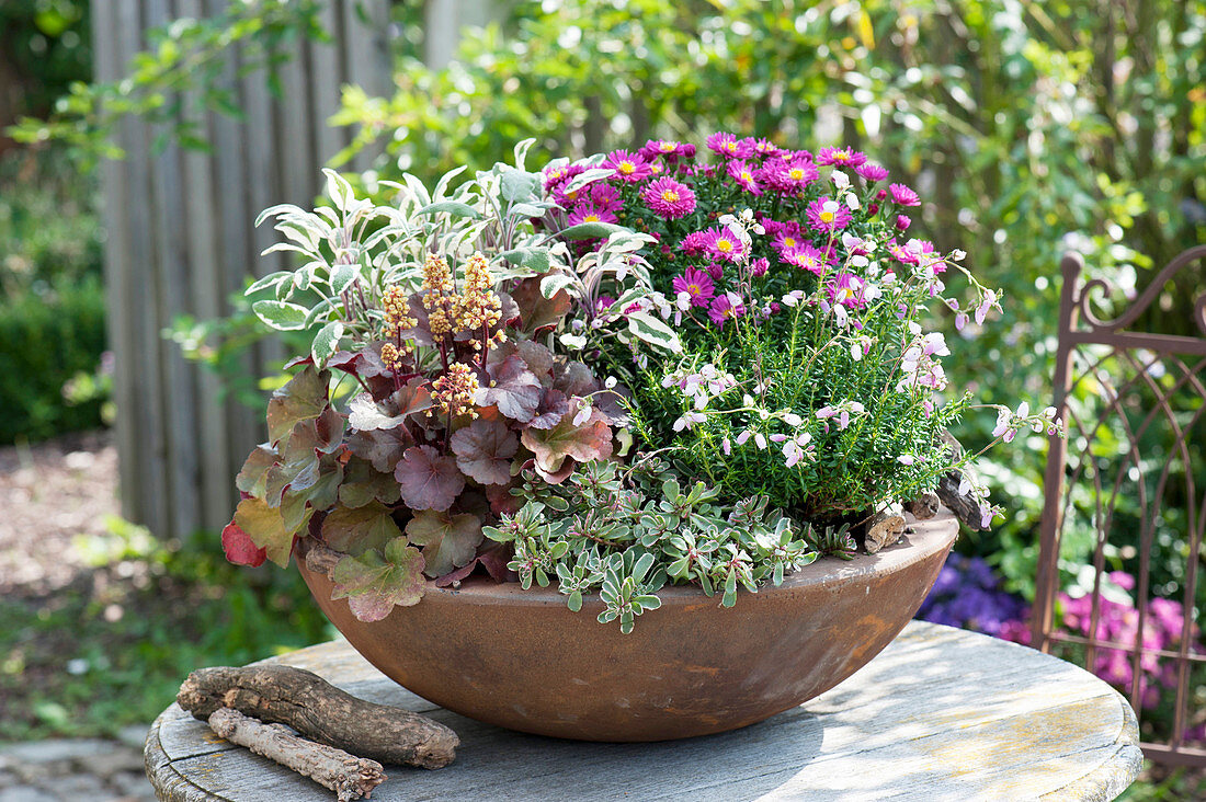 Roasting pan planted autumnally, Aster dumosus 'Rubin'