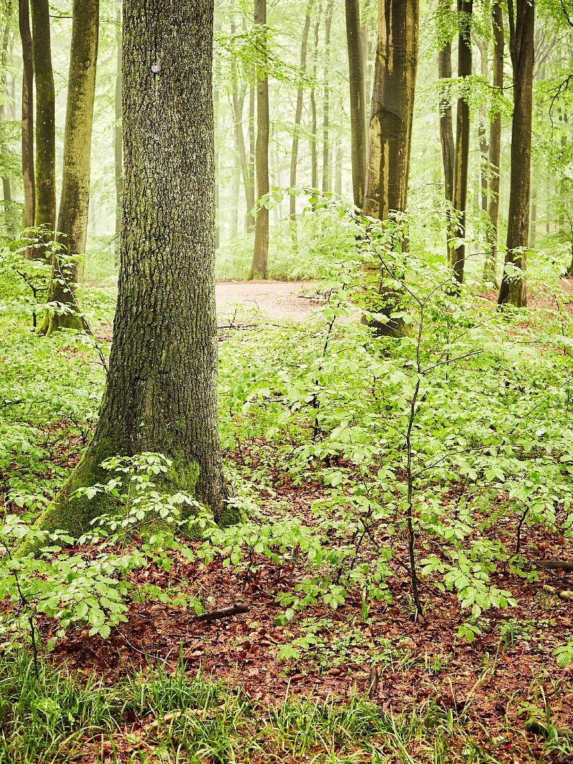 A deciduous forest with young trees