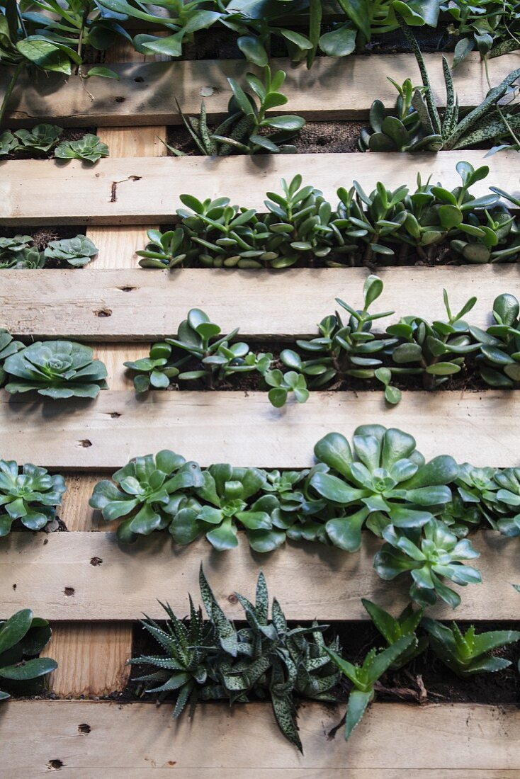 Wooden pallet planted with succulents and mounted on wall